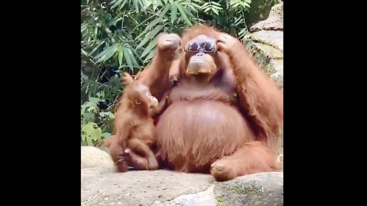 વાંદરાઓ