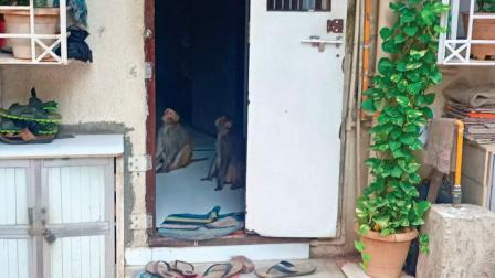 ઓઘડભાઈ લેનમાં એક ઘરમાં ઘૂસીને અંદરના ખાદ્યપદાર્થોને સફાચટ કરી રહેલા વાંદરાઓ.