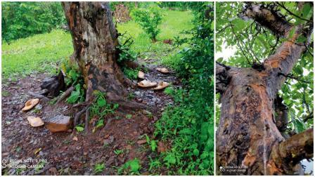 આ ઝાડ (જમણે) પર ચડ્યા બાદ વીજળી પડતાં એક ટીનેજરે જીવ ગુમાવ્યો ને ૩ જણ જખમી થયા હતા. ઝાડની નીચે તેમનાં ચંપલ પડ્યાં છે